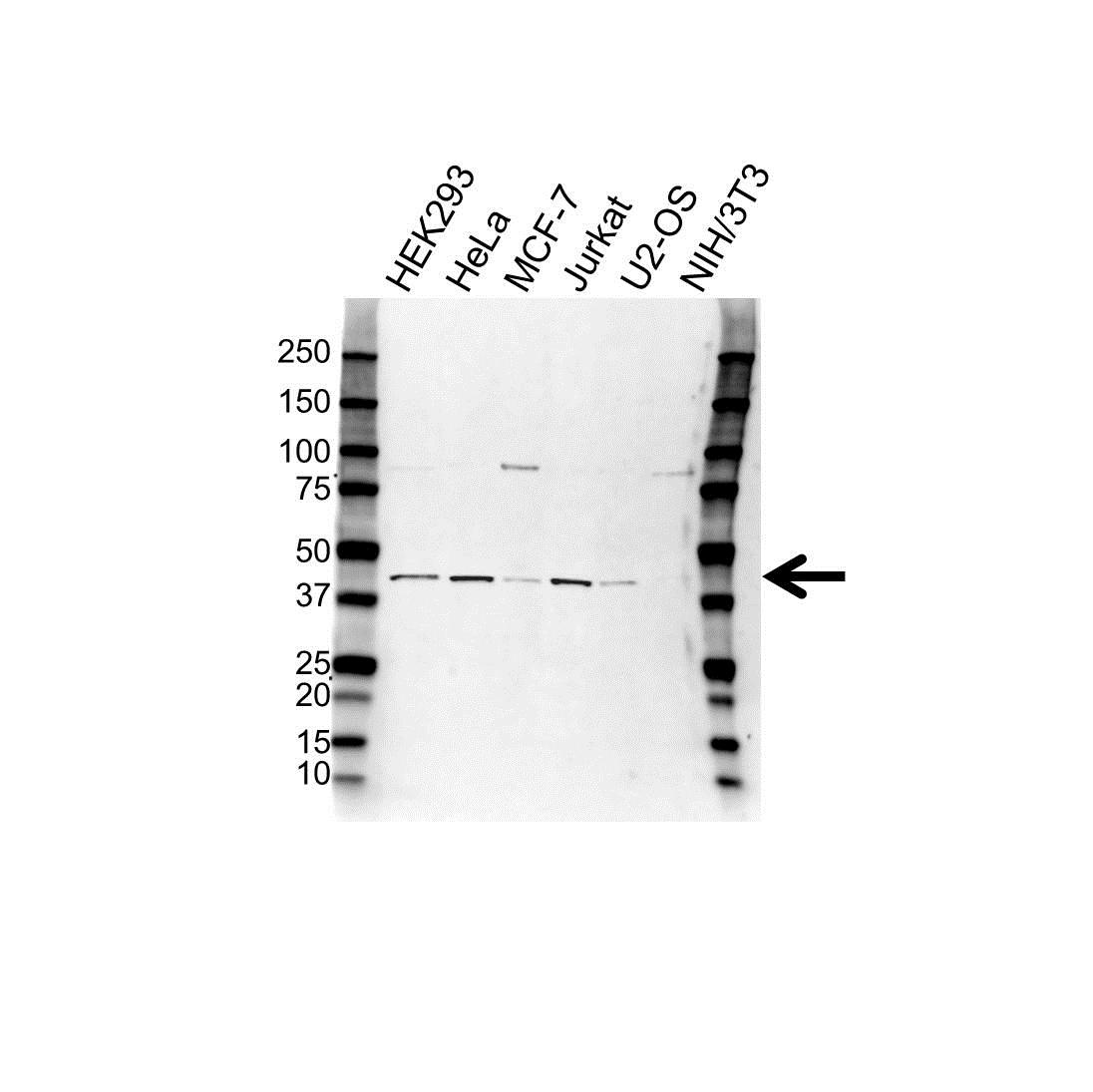 Anti WDR77 Antibody (PrecisionAb Polyclonal Antibody) gallery image 1