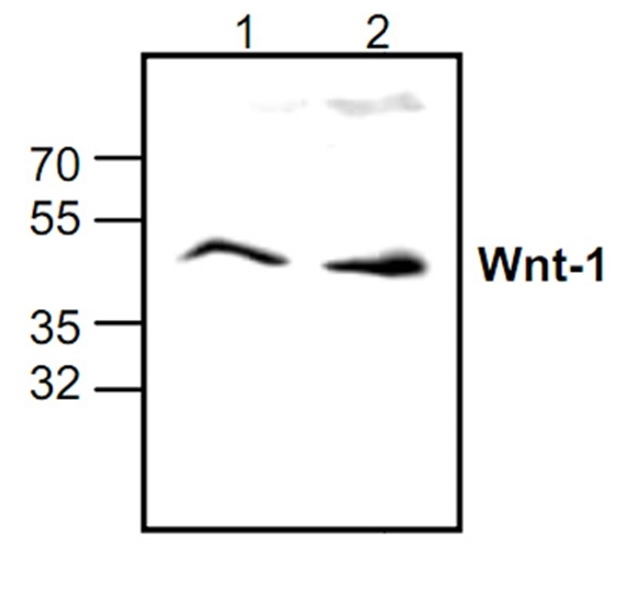 Anti WNT-1 Antibody gallery image 1