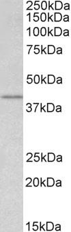 Anti WNT-3 Antibody thumbnail image 1