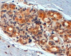 Anti WNT-3 Antibody thumbnail image 2