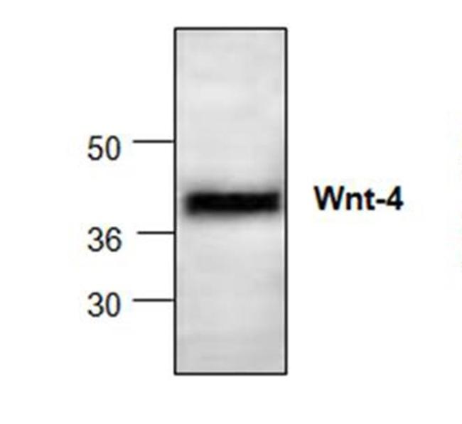 Anti WNT-4 Antibody gallery image 1