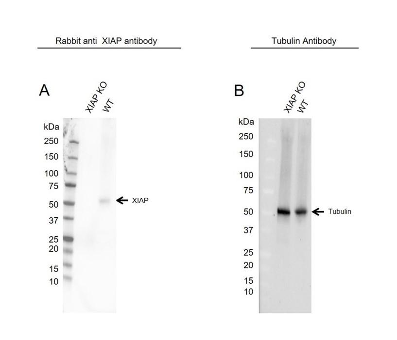 Anti XIAP Antibody (PrecisionAb Polyclonal Antibody) thumbnail image 2
