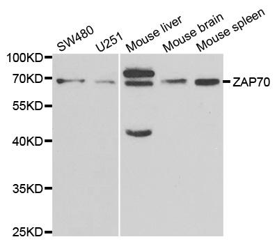 Anti ZAP 70 Antibody thumbnail image 1