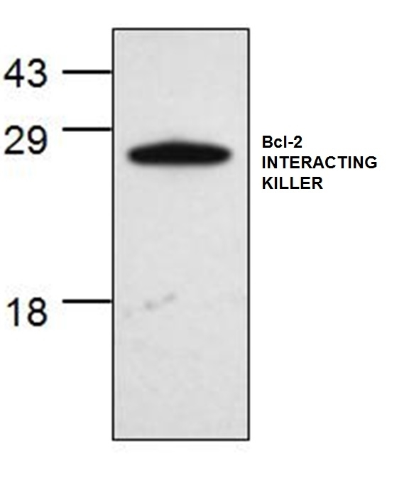 Anti Bcl-2 Interacting Killer Antibody gallery image 1
