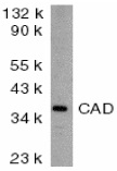Anti Mouse CAD (aa205-222) Antibody gallery image 1