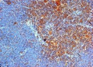 Anti Mouse CD289 (N-Terminal) Antibody thumbnail image 1