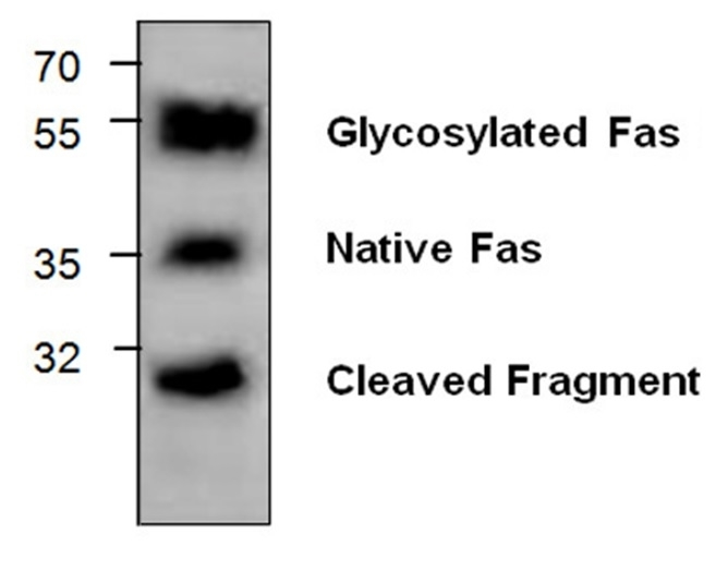 Anti CD95 / FAS Antibody gallery image 1