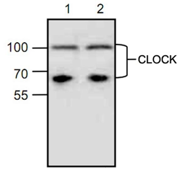 Anti Clock Antibody gallery image 1