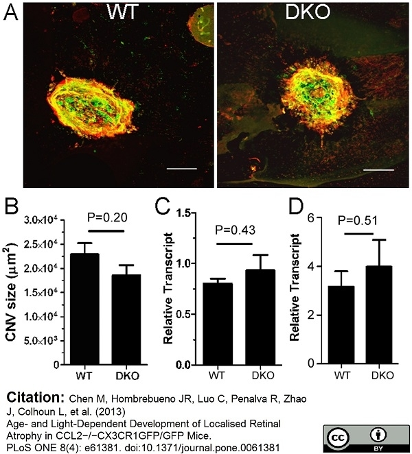 Anti Mouse Collagen IV Antibody thumbnail image 23