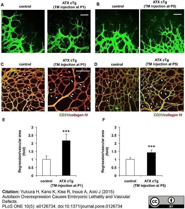 Anti Mouse Collagen IV Antibody thumbnail image 24
