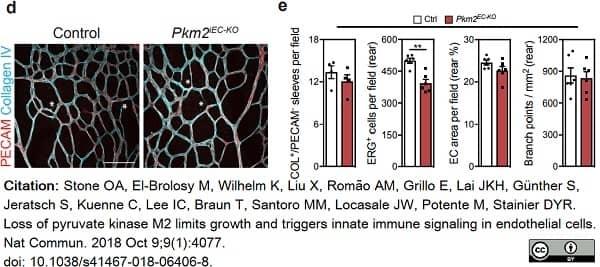 Anti Mouse Collagen IV Antibody thumbnail image 25