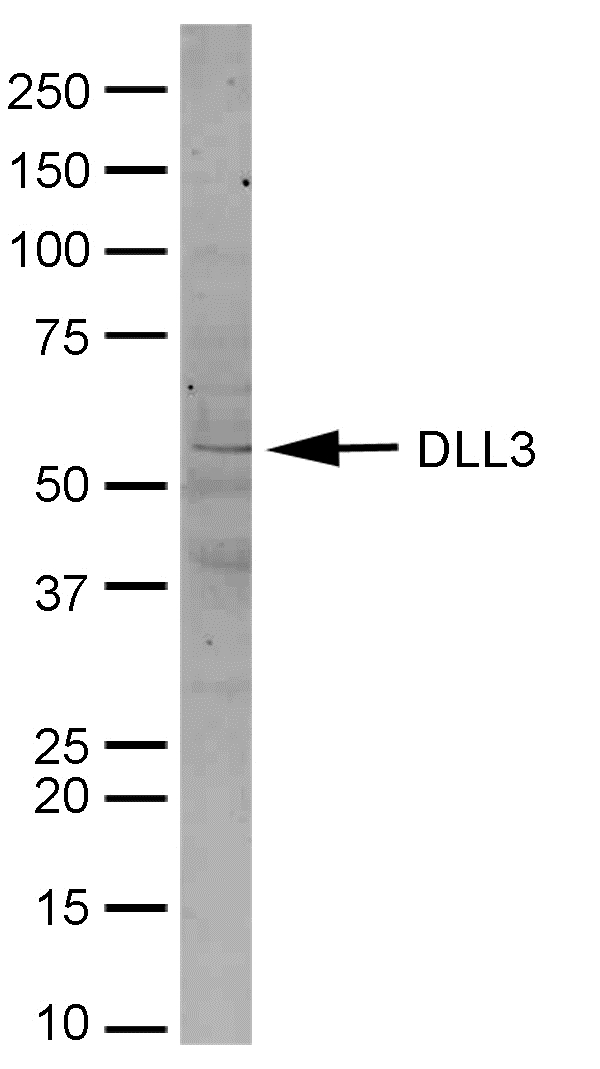 Anti Mouse Delta-Like Protein 3 Antibody gallery image 1
