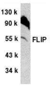 Anti Mouse FLIP (C-Terminal) Antibody thumbnail image 1