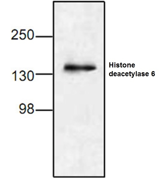 Anti Histone Deacetylase 6 Antibody gallery image 1
