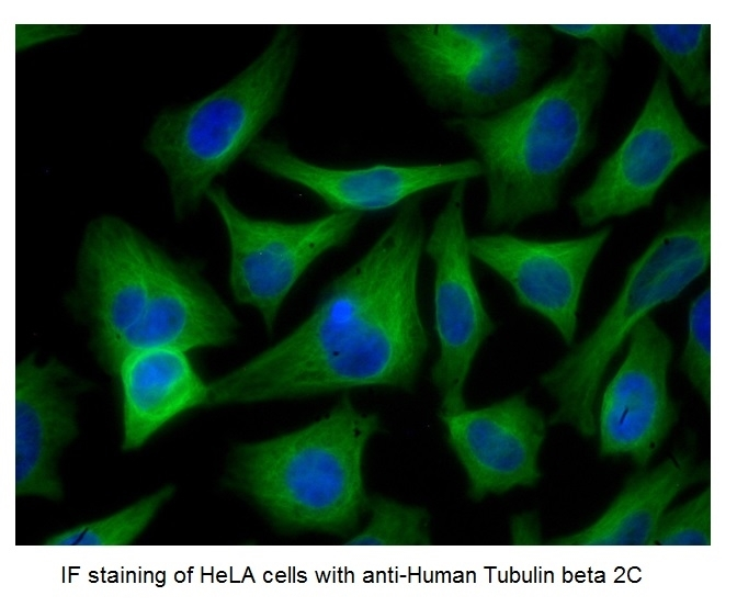 Anti Mouse IgG (H/L) (Multi Species Adsorbed) Antibody thumbnail image 11