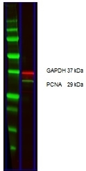 Anti Mouse IgG (H/L) (Multi Species Adsorbed) Antibody thumbnail image 13