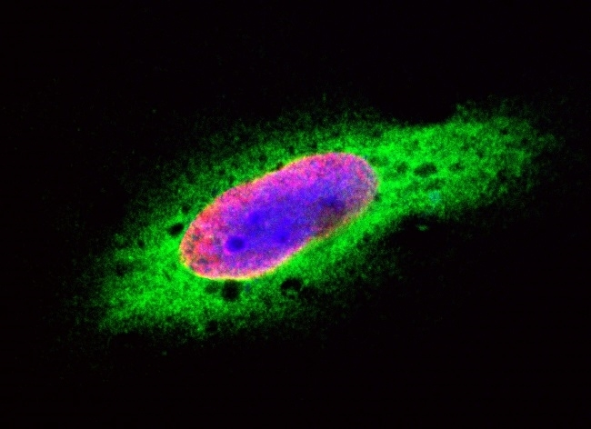 Anti Mouse IgG (H/L) (Multi Species Adsorbed) Antibody gallery image 7