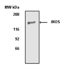 Anti iNOS Antibody gallery image 1