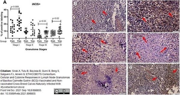 Anti iNOS Antibody thumbnail image 2