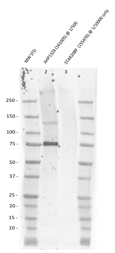Anti Mouse MDM2 Antibody thumbnail image 1