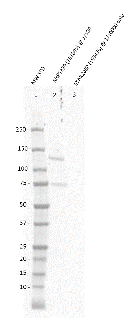 Anti Mouse MDM2 Antibody thumbnail image 2