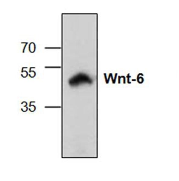 Anti WNT-6 Antibody gallery image 1
