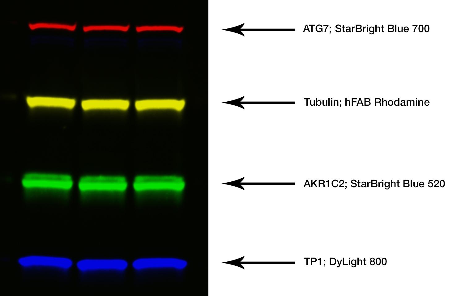 Goat ANTI-RABBIT IgG StarBright™ Blue 520 Antibody thumbnail image 3