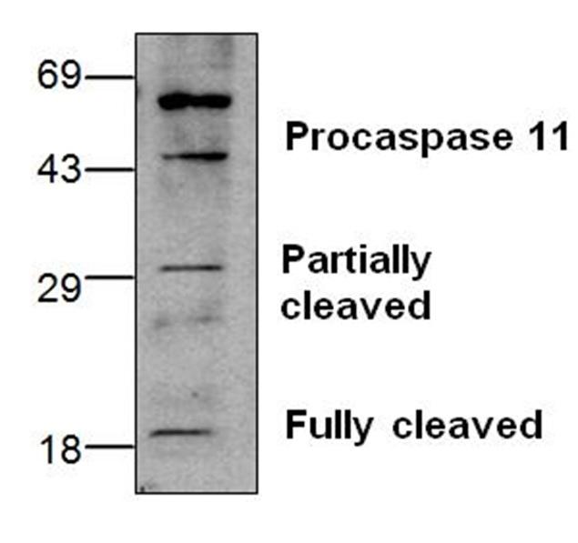 Anti CASPASE-11 Antibody gallery image 1