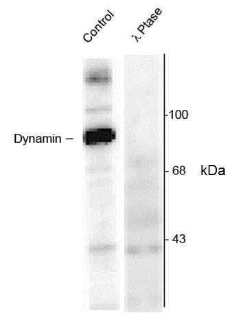 Anti Dynamin (pSer774) Antibody gallery image 1