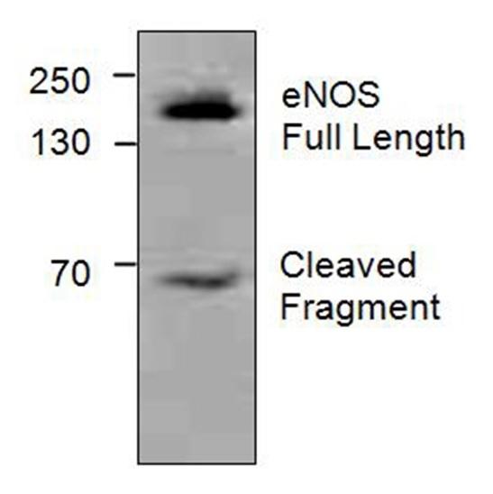 Anti eNos Antibody gallery image 1