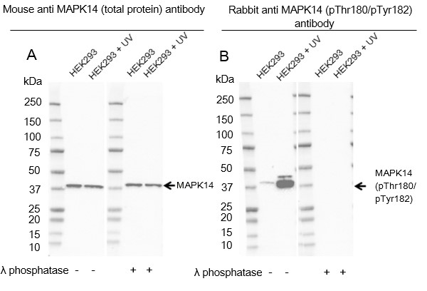 Anti p38 MAPK (pThr180/pTyr182) Antibody thumbnail image 3
