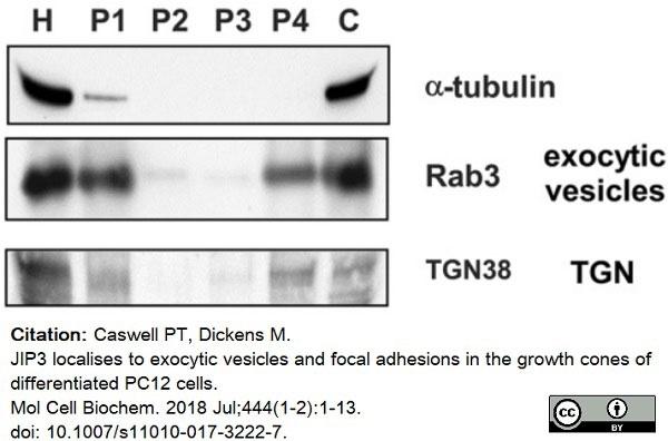 Anti Rat TGN38 Antibody thumbnail image 3