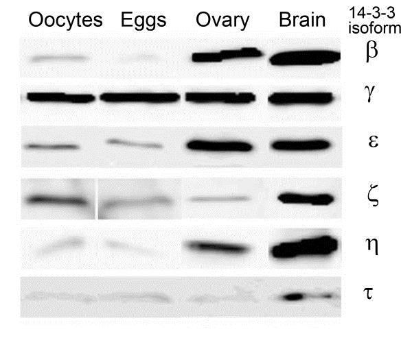 Anti 14-3-3 tau/theta Antibody thumbnail image 1