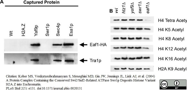 Anti Histone H4 (Ac8) Antibody thumbnail image 1