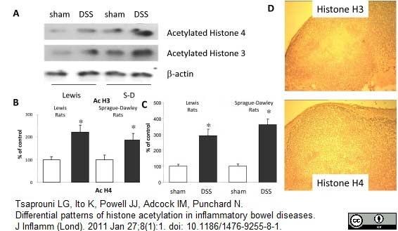 Anti Histone H4 (Acetylated) Antibody thumbnail image 2