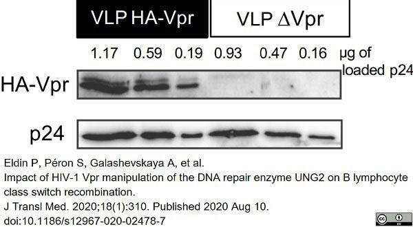 Anti Human Immunodeficiency Virus 1 p24 Antibody gallery image 1