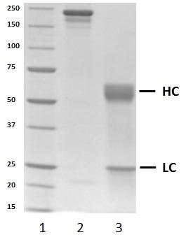 Recombinant Human IgA1 Lambda, clone AbD00264_hIgA1 thumbnail image 2