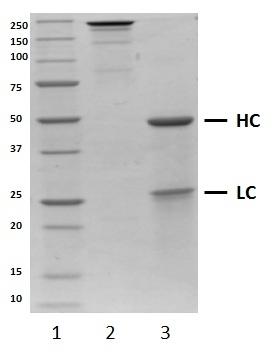 Recombinant Human IgG1 Lambda Allotype G1m3, clone AbD00264_hIgG1 thumbnail image 1