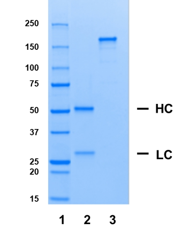 Recombinant Human IgG1 Lambda Allotype G1m17,1, clone AbD00264il thumbnail image 1