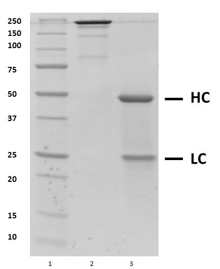 Recombinant Human IgG1 Kappa Allotype G1m3, clone AbD18705_hIgG1 thumbnail image 1
