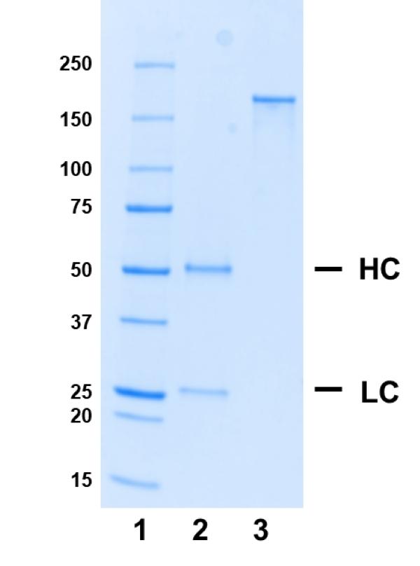 Recombinant Human IgG1 Kappa Allotype G1m17,1, clone AbD18705il thumbnail image 1