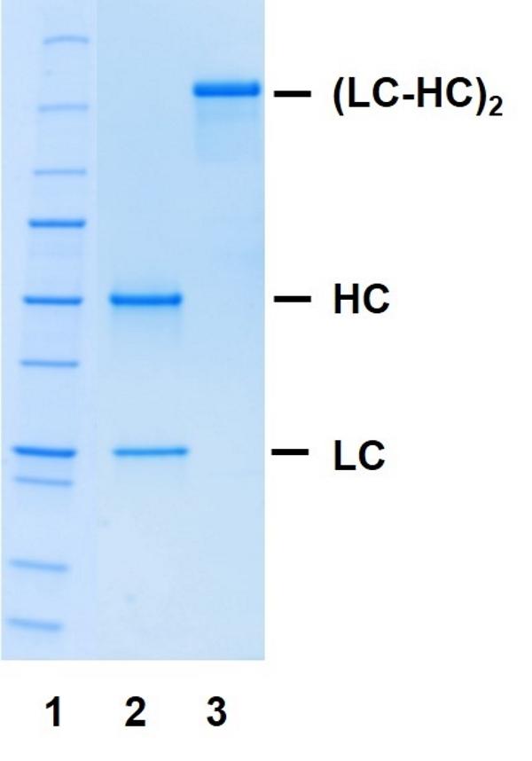 Recombinant Human IgG2/4 Kappa, clone AbD18705io thumbnail image 1