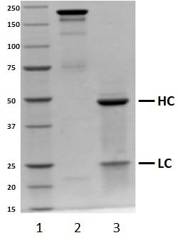 Recombinant Human IgG2 Lambda, clone AbD00264_hIgG2 thumbnail image 1