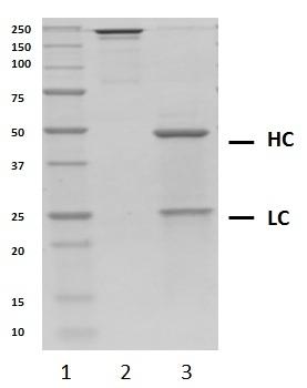 Recombinant Human IgG2 Kappa, clone AbD18705_hIgG2 thumbnail image 2
