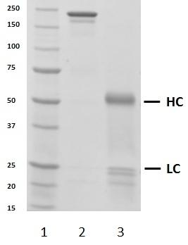 Recombinant Human IgG3 Lambda, clone AbD00264_hIgG3 thumbnail image 2