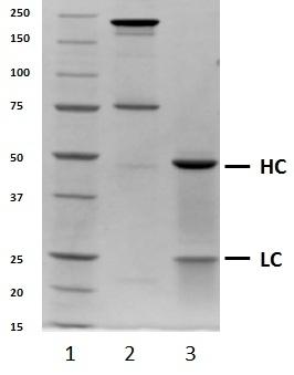 Recombinant Human IgG4 Lambda, clone AbD00264_hIgG4 thumbnail image 1
