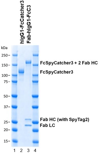 Human IgG1-FcSpyCatcher3 thumbnail image 2