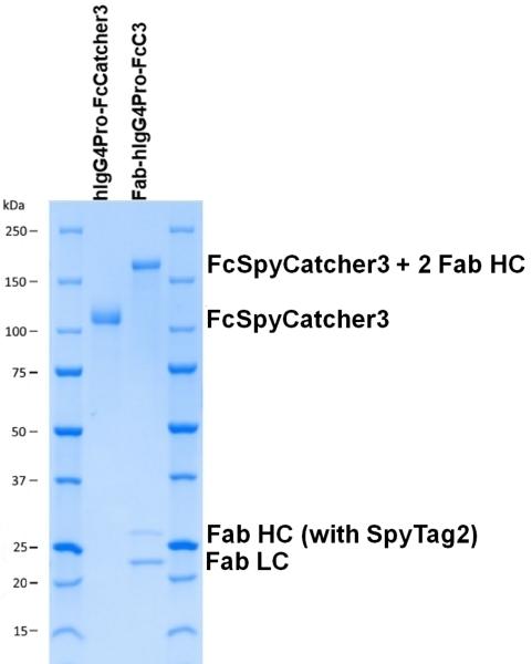 Human IgG4-Pro-FcSpyCatcher3 thumbnail image 2