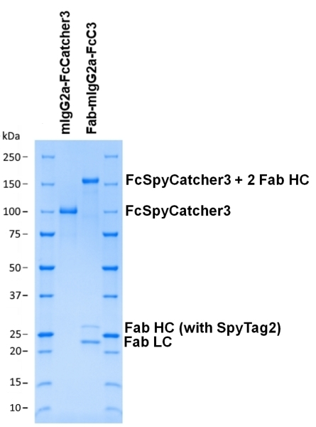 Mouse IgG2a-FcSpyCatcher3 thumbnail image 2