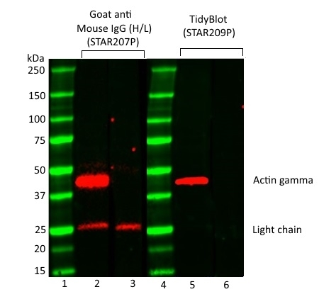 TidyBlot Western Blot Detection Reagent gallery image 4